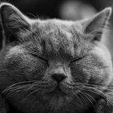 Dorosły kot brytyjski krótkowłosy