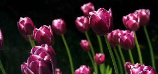 tulipany warszawa